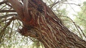 Tekstura Drzewny Narute 4 Zdjęcia Royalty Free