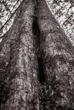 Tekstura duży drzewo w czarny i biały brzmieniu zdjęcie royalty free