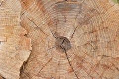 Tekstura fiszorek drzewo - sekcja bagażnik z rocznych pierścionków zbliżeniem Zdjęcia Royalty Free