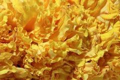 Tekstura girlanda nagietka płatka kwiat, roślina stokrotki rodzina z kolorem żółtym, pomarańcze lub brown kwiatami, typowo, obraz royalty free