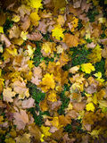 Tekstura kolor żółty opuszcza jesień liść Zdjęcie Royalty Free