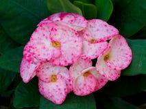 Tekstura korona ciernia kwiat fotografia stock