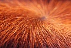 Tekstura kosmata krowy skóry powierzchnia Zdjęcie Royalty Free