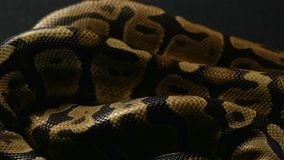 Tekstura królewski balowy pytonu ` s snakeskin zbiory wideo