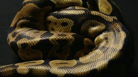 Tekstura królewski pytonu ` s snakeskin zbiory wideo