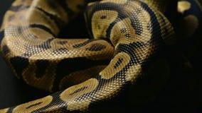 Tekstura królewski pytonu ` s snakeskin w cieniu zbiory wideo