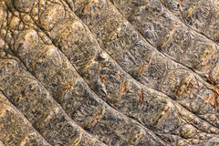Tekstura krokodyla skóra Zdjęcie Stock
