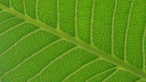 Tekstura liść z lekkim ciupnięciem przez dziur Zdjęcia Stock