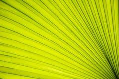 Tekstura liście palmowi Obraz Stock