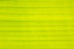 Tekstura, linie, wzór żółty Bananowy liść Fotografia Stock
