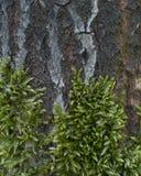 Tekstura mech na drzewnej barkentynie Obrazy Royalty Free