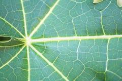 Tekstura melonowa drzewo zdjęcie royalty free