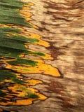 Tekstura na bananowym liściu od bananowego drzewa zdjęcie royalty free