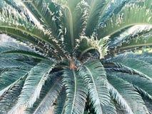 Tekstura od zielonej tropikalnej paproci z ogólnymi wielkimi liśćmi verdure pozyskiwania środowisk gentile Obrazy Royalty Free