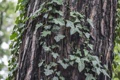 Tekstura sosny barkentyna z dzikim bluszczem obrazy royalty free