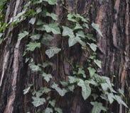 Tekstura sosny barkentyna z dzikim bluszczem zdjęcie stock