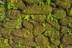 Tekstura stara kamienna ściana zakrywał zielonego mech w forcie Rotterdam Makassar, Indonezja, - fotografia stock