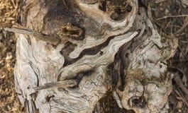 Tekstura stary drzewny bagażnik zdjęcia royalty free