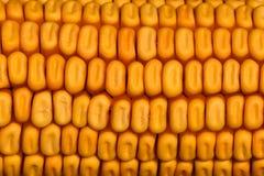 Tekstura szczegółowy złoty wysuszony kukurydzany cob fotografia stock
