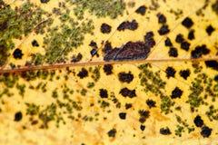 Tekstura szkotowy drzewo Naturalny liść Zdjęcia Stock