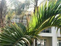 Tekstura zieleni zamiata piękni świezi tropikalni palmowi fronds z udziałami liście i kopii przestrzeń na białych budynku tła clo zdjęcia stock