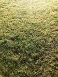 Tekstura zielona świeża naturalna puszysta zielona trawa, gazon zaświecał słońcem verdure pozyskiwania środowisk gentile obrazy royalty free