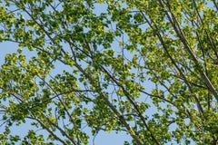Tekstura zielone gałąź topola z niebem w tle zdjęcie stock