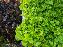 Tekstura Zielonego dębu i czerwonego dębu hydroponika warzywa Zdjęcia Stock