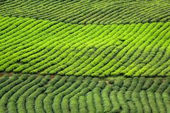 Tekstura zielonej herbaty plantacja fotografia royalty free