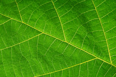 Tekstura zielony liść jako tło Zdjęcie Stock