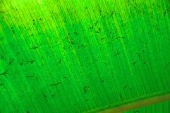 Tekstura zielony palmowy liść w świetle słonecznym Tło tekstura światło Fotografia Royalty Free