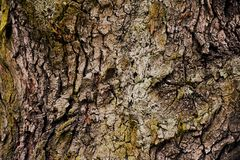 Tekstury barkentyna deciduous drzewo Obrazy Stock