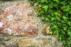 Tekstury Kamiennej ściany i bujny bluszcza tło obrazy royalty free