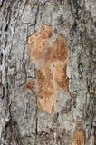 tekstury korowaty drzewo Fotografia Royalty Free