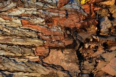 tekstury korowaty stary topolowy drzewo fotografia stock