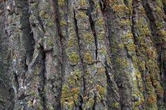 tekstury korowaty stary topolowy drzewo obrazy stock