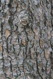 tekstury korowaty stary topolowy drzewo Zdjęcie Royalty Free