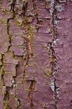 tekstury korowaty stary topolowy drzewo Fotografia Royalty Free