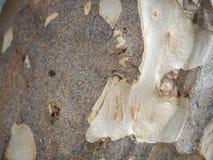 tekstury korowaty stary topolowy drzewo Obraz Royalty Free