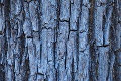 tekstury korowaty stary topolowy drzewo Zdjęcia Stock