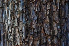 tekstury korowaty stary topolowy drzewo Zdjęcia Royalty Free
