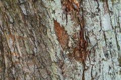 tekstury korowaty stary topolowy drzewo w kontek?cie niebieskie chmury odpowiadaj? trawy zielone niebo bia?e wispy natury natural zdjęcia royalty free