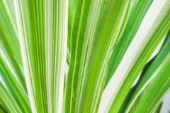 Tekstury liniowa zieleń paskuje naprzemianległego z jaskrawym bielem na liściu, natura wzorów tło fotografia stock