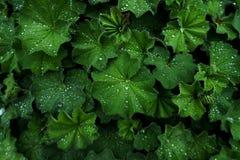 Tekstury roślina z wodnymi kropelkami zdjęcia stock