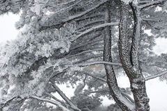 tekstury sosnowy drewno Fotografia Stock