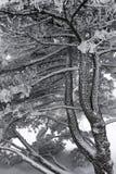 tekstury sosnowy drewno Zdjęcie Royalty Free
