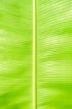 Tekstury tło backlight zieleni banana liść Fotografia Royalty Free