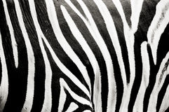 tekstury zebra Obraz Stock