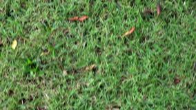 Tekstury zielonej trawy łąka w lecie z odgórnym widokiem, śródpolnego natura gazonu ruchu chodzący poruszający tło zbiory