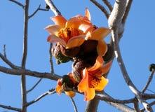 Tel Aviv Begin Park Bombax ceiba March 2007. Orange flowers of Bombax ceiba tree in Begin Park in Tel Aviv, Israel Stock Photos
